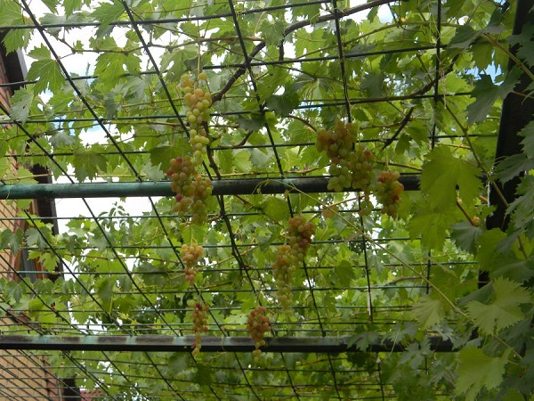 Отдых в Адлере. Виноград