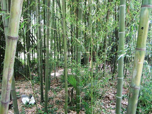 Нижний Дендрарий. Бамбук