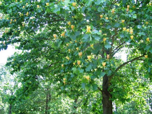 Парк Южные культуры. Тюльпанное дерево