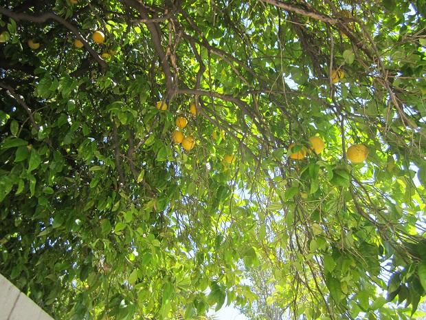 Санта-Клара. Лимоны