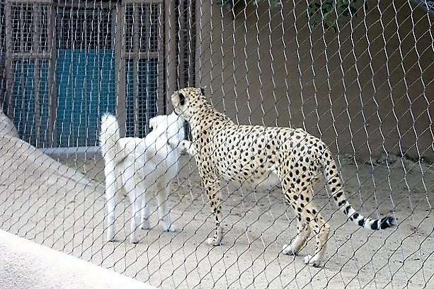 Зоопарк в Сан-Диего. Гепард и собака