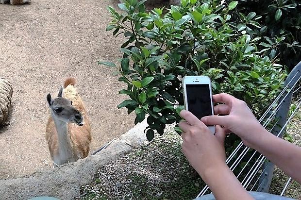 Зоопарк в Сан-Диего. Лама