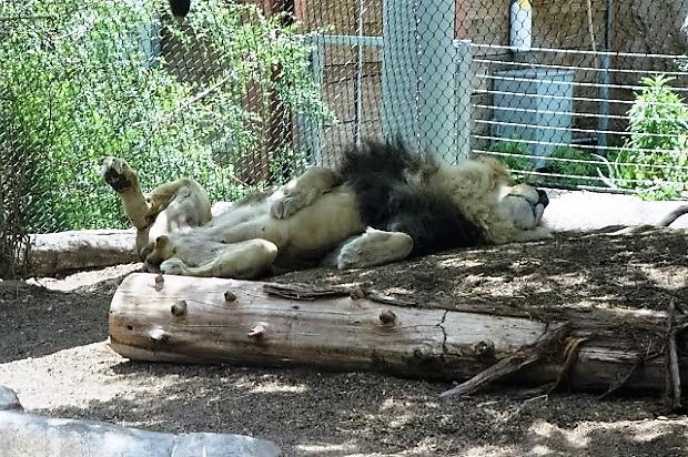 Зоопарк в Сан-Диего. Лев
