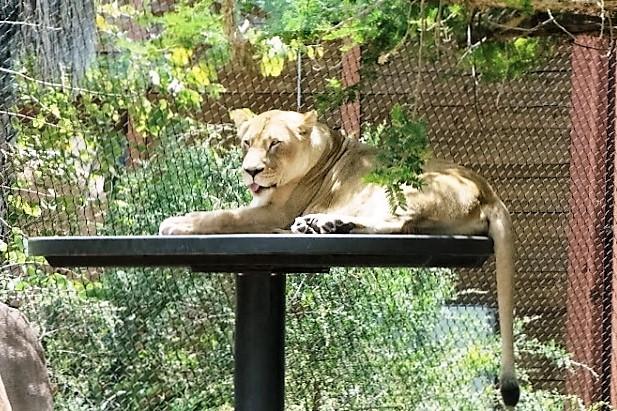 Зоопарк в Сан-Диего. Львица