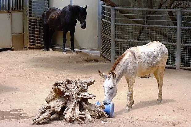 Зоопарк в Сан-Диего. Ослик