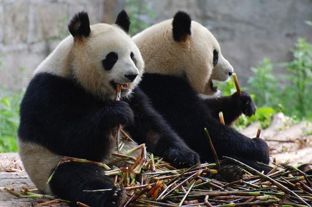 Зоопарк в Сан-Диего. Панда