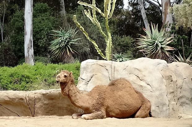 Зоопарк в Сан-Диего. Верблюд
