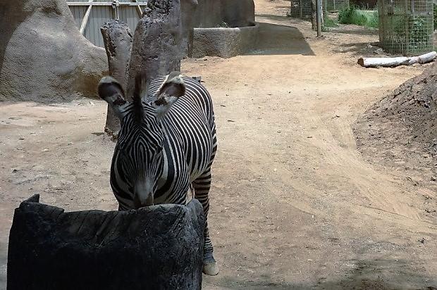 Зоопарк в Сан-Диего. Зебра