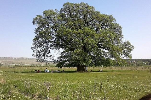 Европейское дерево года. Дуб черешчатый. Республика Крым