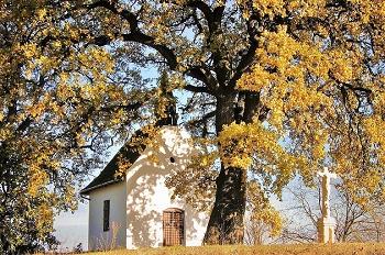 Европейское дерево года. Дуб. Венгрия