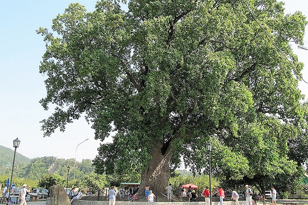 Европейское дерево года. Лириодендрон тюльпаноносный. Сочи