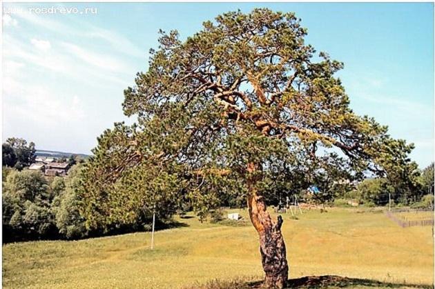 Европейское дерево года. Сосна обыкновенная. Удмуртская Республика