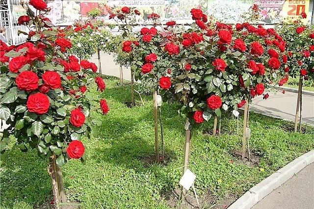 Розы на улице Роз3