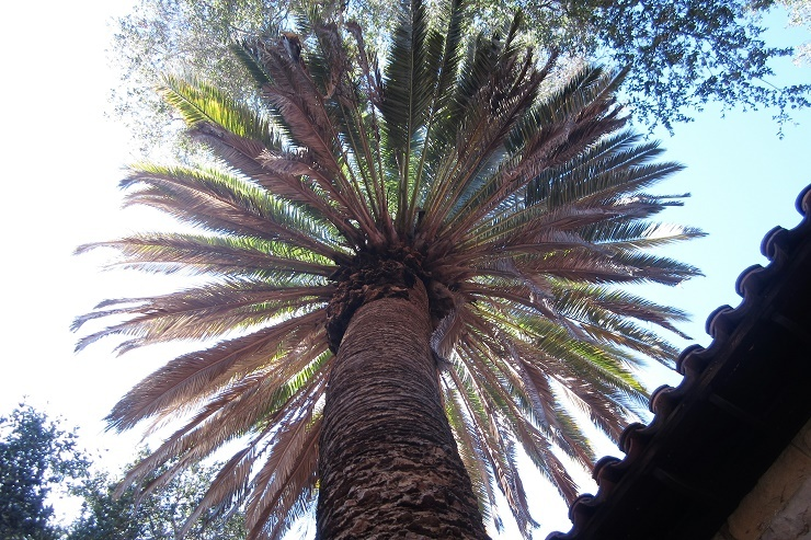 Стэнфорд. Пальма