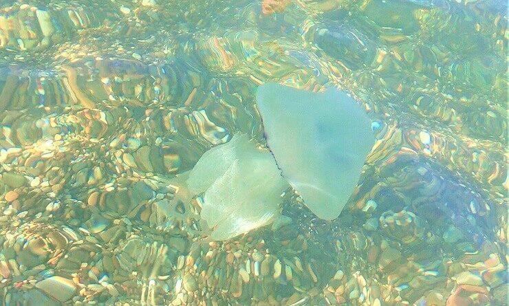 Медуза корнерот у берегов Сочи