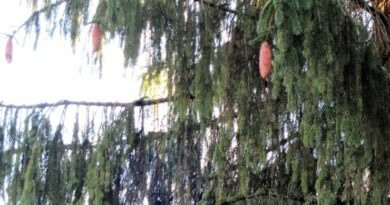 Конкурс Европейское дерево года